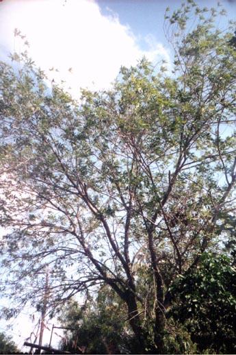 Fresno - Ash Tree